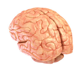 Human brain model, isolated
