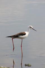 Black Winged Stilt seeking worms in the water