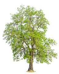 AgastaDolichandrone rpathacea Schum tree. Dolichandrone serrulat