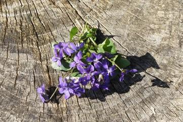 Veilchen, Kräuter, Frühling