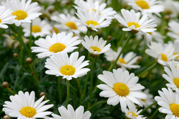 white daisy in the nature