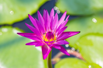 Closeup Lotus flower,water lily