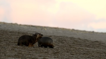 sea lions seals puppy on the sunrise background