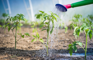 Watering seedling tomato