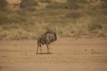 Lone wildebeest bull