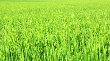 rice field before produce grains blowing by the wind with audio