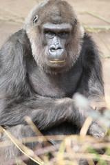 Flachlandgorilla (Gorilla Gorilla Gorilla)