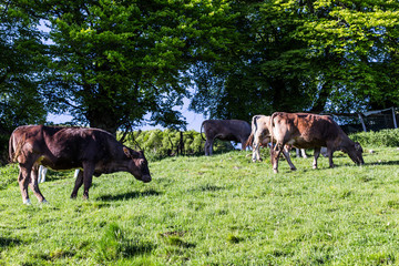 Cows at summer green field