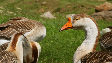 Poultry farm. Group of gray geese grazing grass.