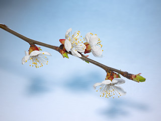 Beautiful pink cherry blossom on a blue background.