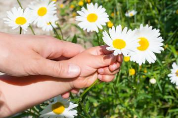 マーガレットを摘む子供の手