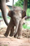 Fototapety Relationship Thai Elephant calf and mom.