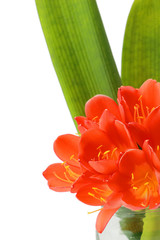 Clivia flowers blooming isolated on white background