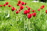 Fototapeta Red Tulips Garden In Spring