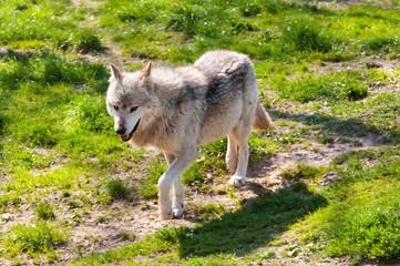 Wolf_Wild_Freiheit