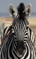 Zebra Portrait, Etosha Salt Pan, Namibia
