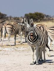 Zebra showing teeth, Etosha Salt Pan, Namibia