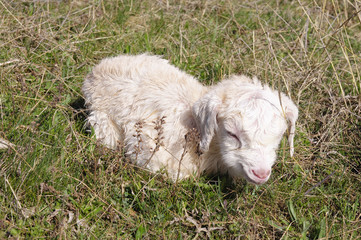 White newborn laying goat in meadow