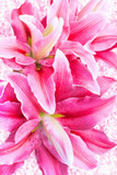 Fototapeta pink lilies on vintage background