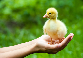Little yellow duckling on human hands