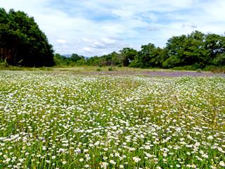 Campo florido com malmequeres