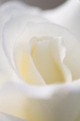 白いバラ アップ 縦