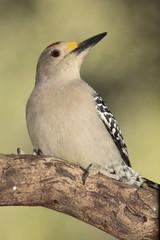 Golden fronted woodpecker posado en un tronco con fondo verde
