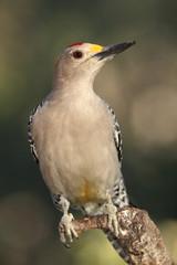 Golden fronted woodpecker posado en una rama con fondo verde