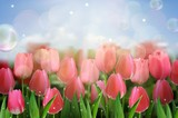 Pink tulips flowers in the garden. vector