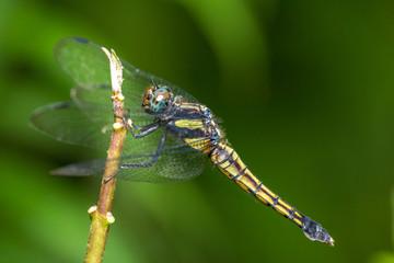 Portrait of dragonfly - Crimson Dropwing (male)
