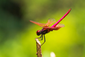 Portrait of dragonfly - Crimson Dropwing (female)