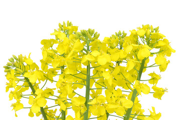 Flower of a rapeseed, Brassica napus, isolated