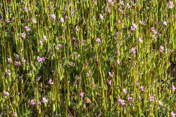 Erodium cicutarium. Alfileres de Pastor, Pico de cigüeña.