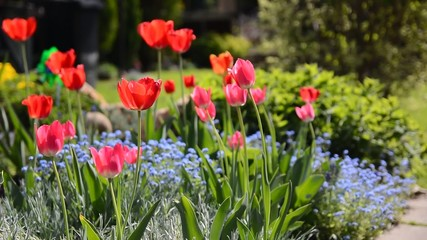 The red tulips in the colorful spring garden.
