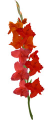 red gladiolus flower isolated on white