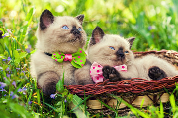 Two little kitten wearing bow tie on the grass