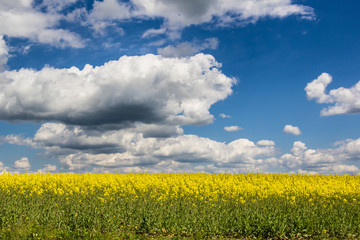 cloudy blue sky and yellow flowers in summer field