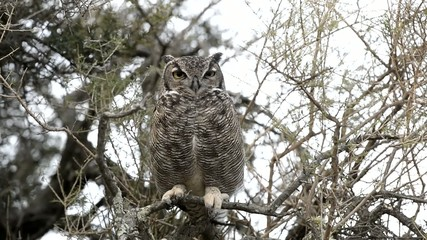 Grey owl portrait while looking at you