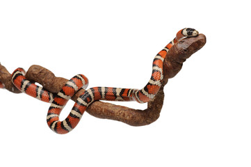 Milk snake with smooth and shiny scales