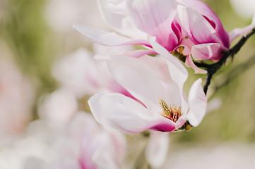 Bezaubernde Magnolienblüte