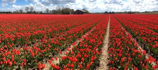 Tulip culture, Holland