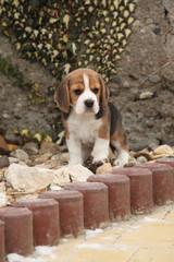 Beautiful beagle puppy in winter