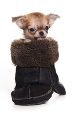 Chihuahua puppy sitting in a mitten (isolated on white)
