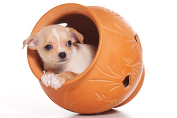 Chihuahua puppy sitting in a jug  (isolated on white)