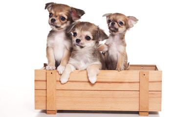 three Chihuahua puppies sitting in the box (isolated on white)