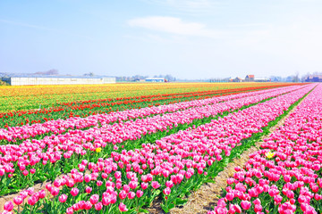 Beautiful blossoming tulip fields in the countryside from the Ne
