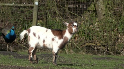 goat standing and looking