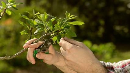 Gardener checking tree leaves
