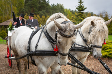 Carriage with white horses for a wedding