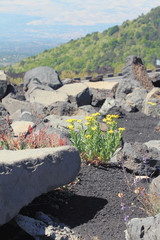 Flowers and volcanic lava among stones. Etna, Sicily, Italy